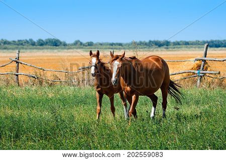 A mare with a foal in a meadow. Horses graze on pasture. Farm animals. Summertime