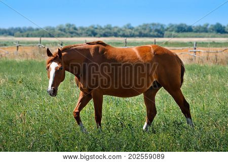 Red mare in a meadow. Horse graze on pasture. Farm animal. Summertime