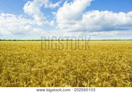 Rural landscape with yellow weath field meadow and blue cloudy sky