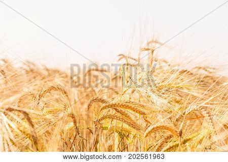 Wheat field. Background of ripening ears of meadow wheat field. Rich rural harvest concept
