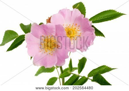 Rosehip flowers with leaf isolated on white background.