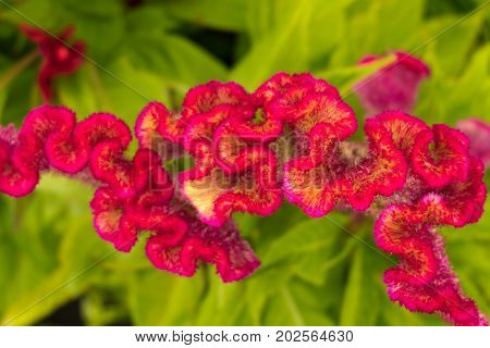 Red Autumn Flower Celosia Leaves On The Flowerbed Closeup