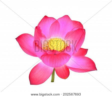 pink lotus petal flower isolated on white background