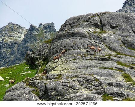 Herd of chamois in Tatras mountains Slovakia