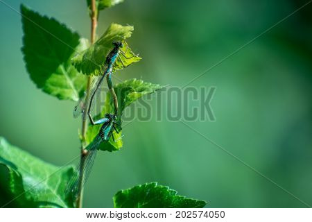 Two Blue Dragonflies on grass on meadow macro photography