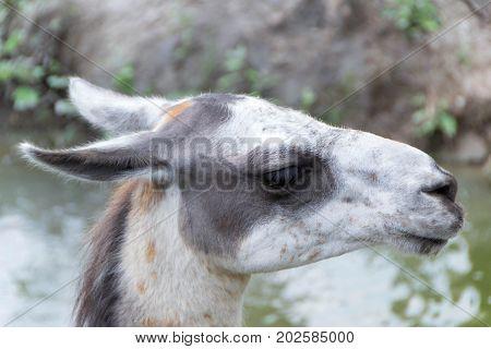 Alpacas and Lamas close up two colour