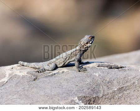 Black lizard sitting on a rock on the morning and basking in the sun.