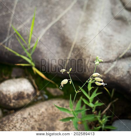 Flowers of Bladder Campion Silene vulgaris with boulders in the background in the forest on a summer morning