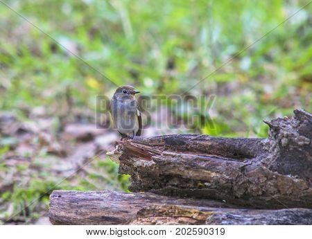 Red-breasted Flycatcher Taiga Flycatcher Ficedula parva bird in thailand