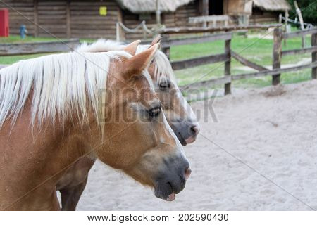 The Haflinger also known as the Avelignese close up