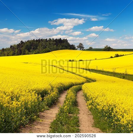 Field of rapeseed canola or colza in Latin Brassica napus with rural road and beautiful cloud rapeseed is plant for green energy and oil industry springtime golden flowering rape seed field