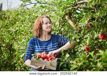 Woman Picking Ripe Organic Apples In Wooden Crate