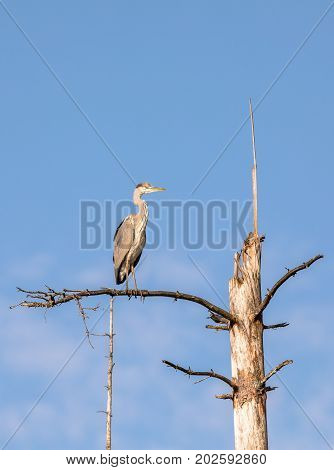 Grey Heron, Ardea cinerea, sitting on a dead tree with blue sky and white clouds as background, in Birkenes in Norway, vertical, portrait format