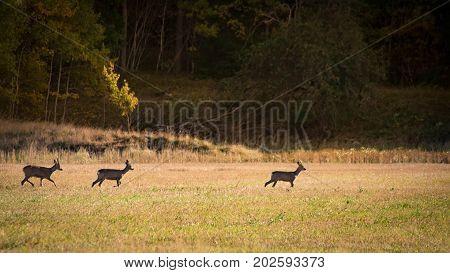 Roe deer male is leading the way, staying ahead walking on a field