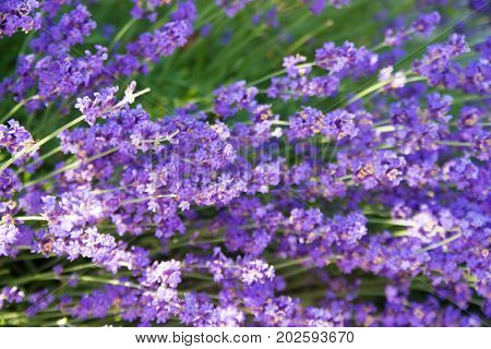 Close up detail of garden in full bloom with field of lavender (Lavandula) plants