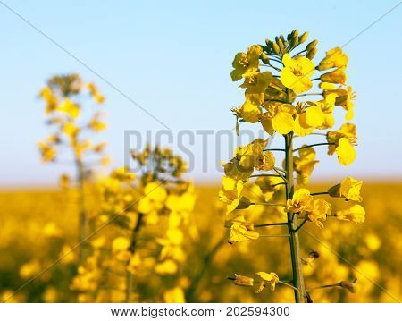 detail of flowering rapeseed field canola or colza in latin Brassica Napus plant for green energy and oil industry rape seed on blue sky background