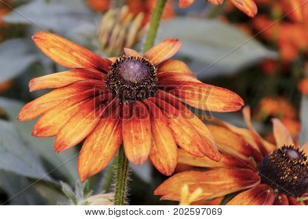 Background of orange daisy coneflowers with leaves close-up