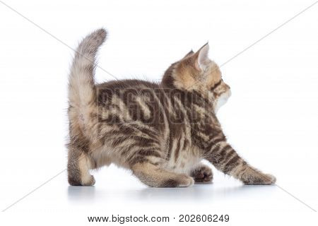 rear view of playful tabby-cat kitten isolated on white