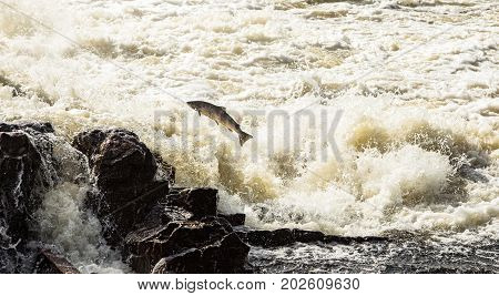 Atlantic Salmon, Salmo salar, leaping in turbulent waterfalls in Boenfossen in Kristiansand, Norway