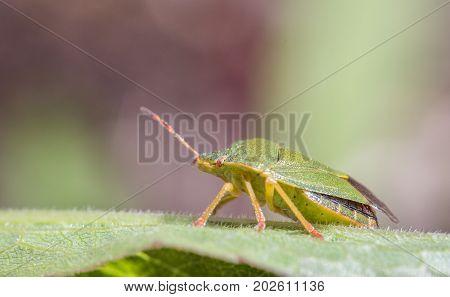 Mature Eurasian Green shield bug, Palomena prasina, sitting on a green leaf, side view