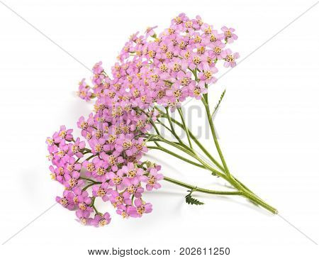 Pink Yarrow Flowers