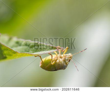 Mature Eurasian Green shield bug, Palomena prasina, hanging on a green leaf looking up