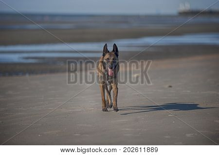 Belgian Shepherd Malinois standing on sandy beach. He has cute smiling face with ears up.