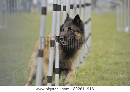 Old veteran dog running slalom on agility competition. He is very attentive and looking his owner for next command. Photohraphy is between fence.