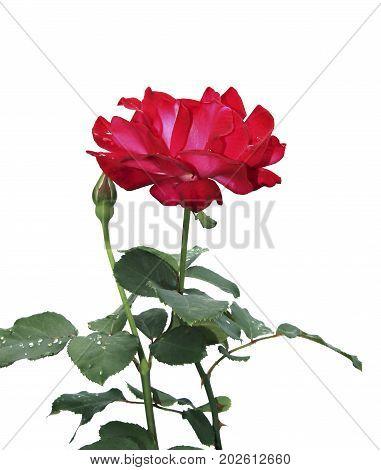 Crimson Rose flower isolated on white background