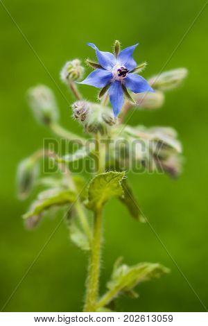 Borage (borago Officinalis )