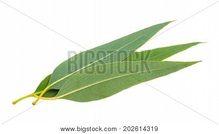 eucalyptus leaves isolated on a white background