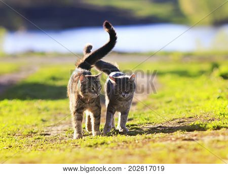 a pair of lovers striped cat walking on green grass next to a Sunny spring day lifting tails