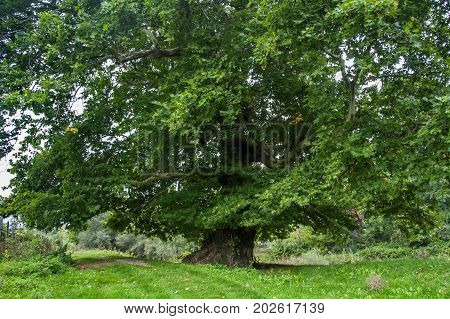 Close shot of enourmous green lush sycamore tree with green grass below