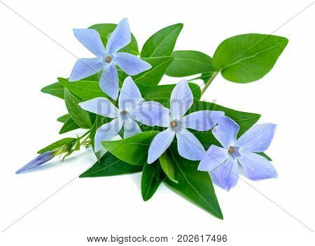 periwinkle branch with  flowers isolated on white