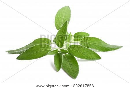 fresh sage isolated on a white background