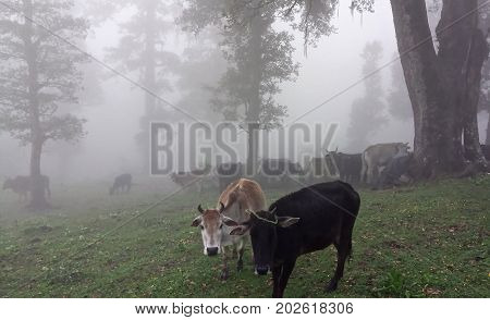 Cattle grazing on the mountain top on a foggy afternoon