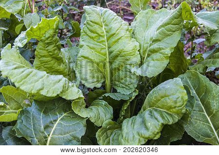 natural green plants, fresh chard in the garden