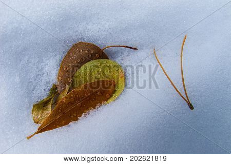 Leaves and pine needles on the snow covered ground in winter