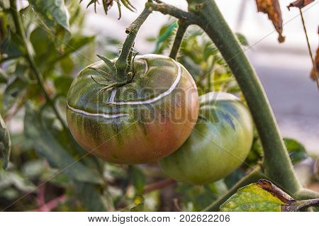 garden tomatoes are beginning to blush and maturation,