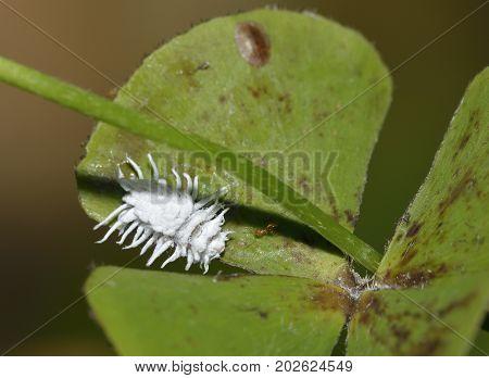Mealybug Ladybird