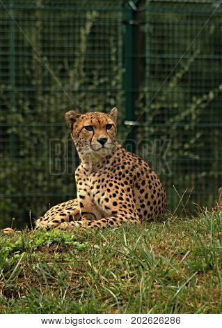 Cheetah/This is wild african cheetah in ZOO.