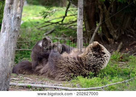 Brown big bear with cubs in forest