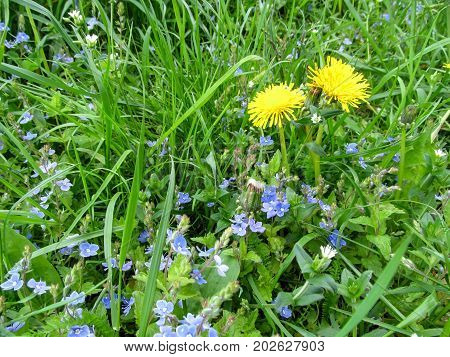 Two yellow dandelions among young juicy green grass and small blue flowers of the bird's-eye speedwell. Spring beautiful natural background