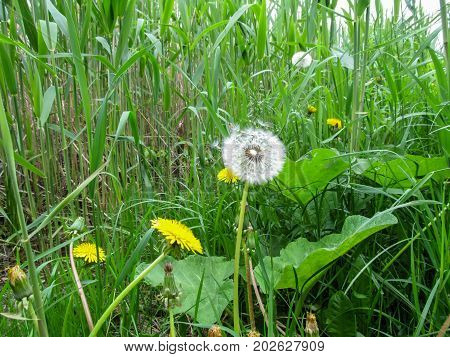 Light airy white dandelion with parachutes among the bulrush. Burdocks green juicy grass young and old dandelions on the swamp among the reeds