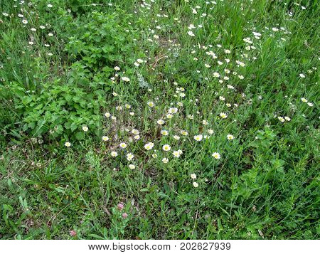 Floral background of meadow flowers - white daisies. Simple elegant background with meadow vegetation without frills - the concept of natural simplicity