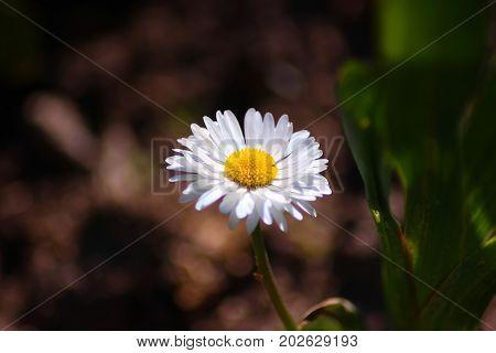a camomile on a dark background of garden