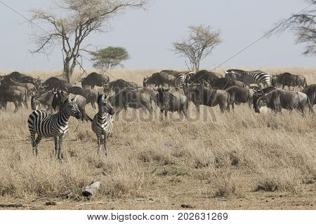 Two zebras staring into the distance standing in a dry savanna next to the passing herd of wildebeest and zebras