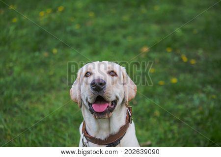 Smiling Labrador Retriever, also labrador, labradorite for a walk looks in the frame. Portrait of a Labrador's green grass with dandelions. Dog in collar Dog Year 2018.