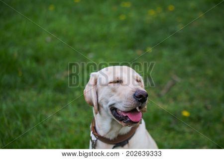Smiling Labrador Retriever, also Labrador, labradorite for a walk closed his eyes. Labrador's head against a green grass with dandelions. Dog in collar Dog Year 2018.