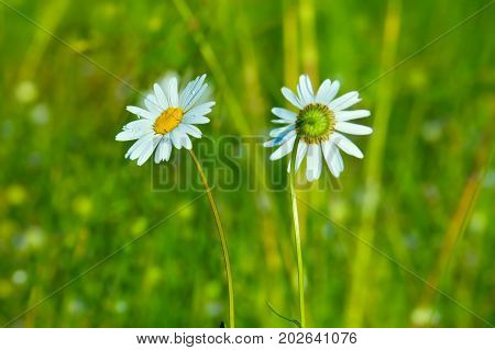 Two chamomile flowers on a meadow in summer